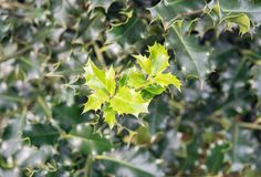 Holly leaves growing on a evergreen tree. In the wintertime. Natural background. Aquifoliaceae royalty free stock photography
