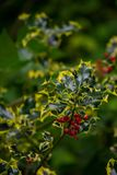 Holly leaves Red Berries Stock Image