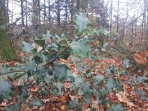 Holly leaves in the forest stock photo