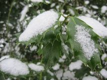 Holly Leaves And Snow imagens de stock