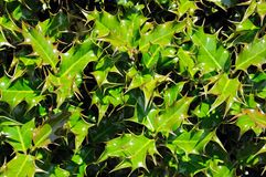 Holly leaves. Stock Image
