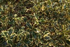 Holly Marginata inglesa - planta espinhosa com as folhas cori?ceos de duas cores Fundo, textura fotos de stock royalty free