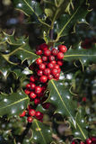 Holly plant Stock Image