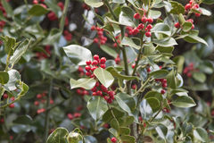 Holly plant Stock Photo