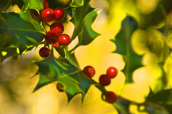 Holly Plant. A branch of the Holly plant on an out of focused background royalty free stock photos