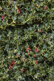 Holly Plant Christmas Background With röda bär royaltyfri fotografi