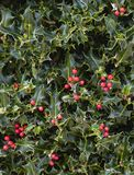 Holly Plant Christmas Background With röda bär fotografering för bildbyråer