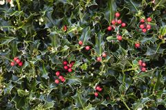 Holly Plant Christmas Background With röda bär royaltyfria foton