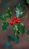 Holly plant closeup Stock Image