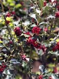 Holly plant with red berries stock image