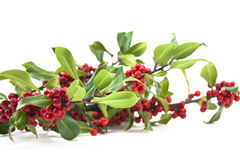 Holly and red berries. Christmas winter holly and red berries on white stock photography