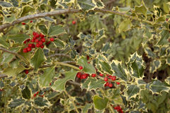 Holly and Red Berries Royalty Free Stock Image