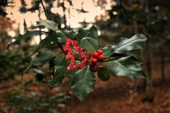 Holly red berries in the forest. Xmas background stock photography
