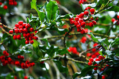 Holly with Red Berries. Green Holly branch with Red Berries royalty free stock photography
