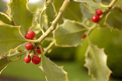 Holly´s fruits. Holly with fruits in winter Royalty Free Stock Images