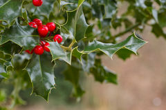 Holly shrub with berries. A small branch of Ilex aquifolium plant with leaves and ripe berries Royalty Free Stock Photos