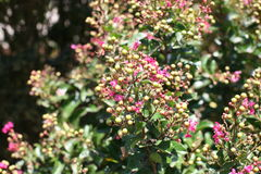 Holly Shrub with Pink Flowers Royalty Free Stock Images
