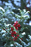 Holly with Snow. Festive holly plant with red berries and snow stock photos