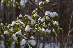 Holly in the snow Stock Photos