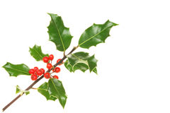 Holly sprig Royalty Free Stock Images
