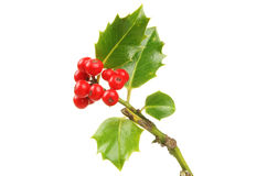 Holly sprig stock photography