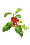 Holly sprig Stock Image
