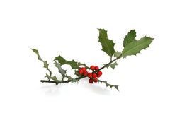 Holly sprig Royalty Free Stock Image
