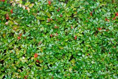 Holly Texture. A shrub with red berries forms this holiday background Royalty Free Stock Images