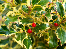 Holly. Traditional green and yellow holly with red berries, suitable for background royalty free stock image
