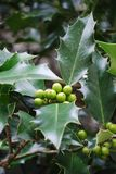 Holly tree. Holly berries and thorny green leaves of a fresh holly tree Stock Images