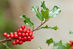 Holly tree. Detail of a holly tree stock photography