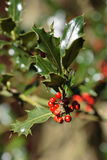 Holly tree Royalty Free Stock Photography