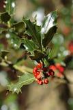 Holly tree Royalty Free Stock Photography