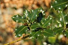 Holly tree Stock Photo