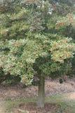 Holly Tree, American Stock Photo