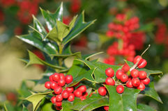 Holly tree background royalty free stock photo