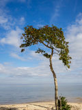 Holly Tree on Beach Stock Images