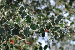 Holly tree branch Stock Image