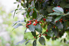 Holly tree branch. With red berries stock photo