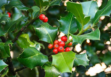 Holly tree close-up. Natural holly branches with red berries Stock Image