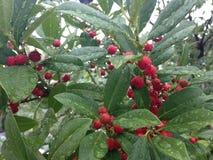 Holly Tree com as bagas vermelhas após a chuva em Miami foto de stock royalty free