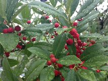 Holly Tree con las bayas rojas después de la lluvia en Miami Foto de archivo libre de regalías