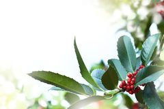Holly tree. Festive holly plant with red berries stock photo