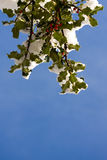 Holly Tree in Snow Royalty Free Stock Image