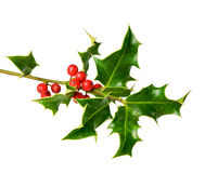 Holly tree twig with berries Royalty Free Stock Photo
