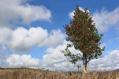 Holly Tree in Winter stock photo
