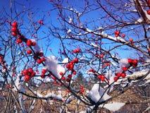 Holly trees in snow stock photos