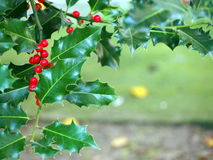 Holly twigs with berries Stock Photos