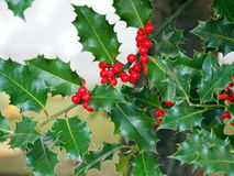 Holly twigs with berries Royalty Free Stock Photo