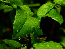 Holly with water. Every moorning give us moorning dew Stock Images